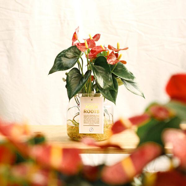 anthurium arrels aquatiques martamajo flors