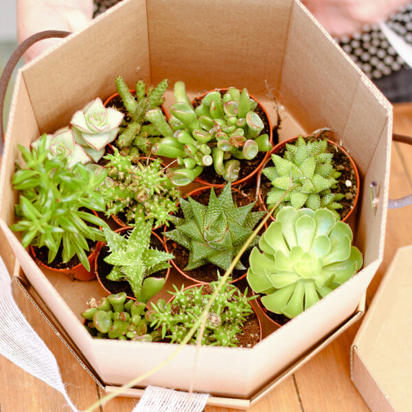 Caixa de Cactus variats Martamajo Flors