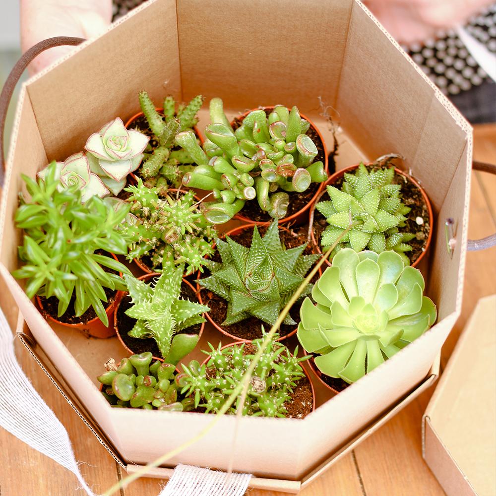 Caixa de Cactus variats